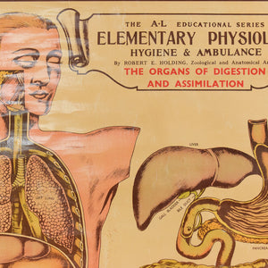 Vintage Small E.J. Arnold & Son Anatomical Poster of the Organs of Digestion and Assimilation No. 5