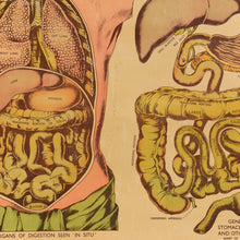 Load image into Gallery viewer, Vintage Small E.J. Arnold & Son Anatomical Poster of the Organs of Digestion and Assimilation No. 5