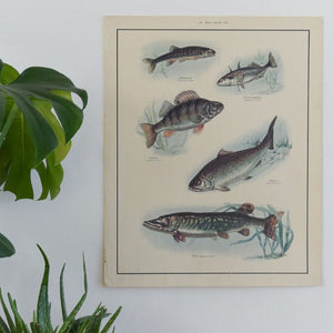 Vintage Harvey School Educational Poster / Print of Fish