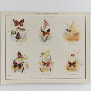 Vintage Harvey School Educational Poster / Print of Butterflies