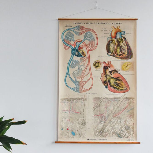 Large Vintage American Frohse Anatomical Chart - Circulation