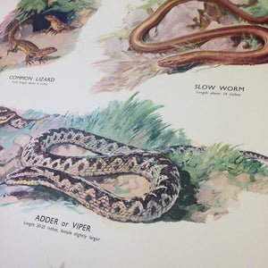 Vintage Educational Wall Chart - No 22 - Lizards & Snakes