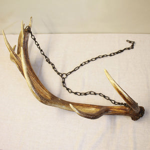 Very Large Vintage Red Deer Stag Antler on Metal Chain