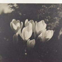 Load image into Gallery viewer, Vintage Original Photograph of Crocus' by Photographer Ian Reeves Entitled 'Sunset Glow'
