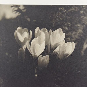 Vintage Original Photograph of Crocus' by Photographer Ian Reeves Entitled 'Sunset Glow'