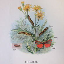 Load image into Gallery viewer, Vintage Educational Wall Chart - No 47 - Stages in the Life History of Moths A