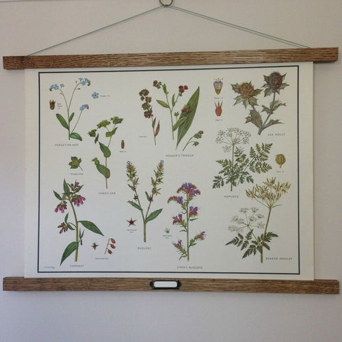Vintage educational wall chart - No 25 - Forget-Me-Not and Parsley Families