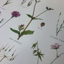 Load image into Gallery viewer, Vintage educational wall chart - No 24 - Pink and Cranesbill Families
