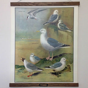 Vintage educational wall chart - No 13 - Seaside Birds