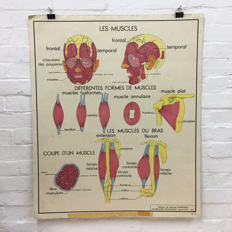 French Rossignol Vintage Anatomical Poster