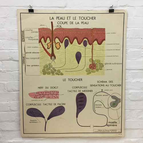 French Rossignol Vintage Anatomical Poster No. 17/18