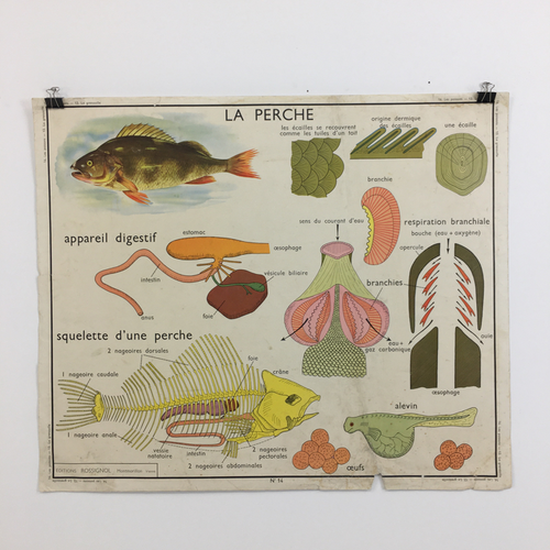French Rossignol School Vintage Anatomical Chart No. 13/14