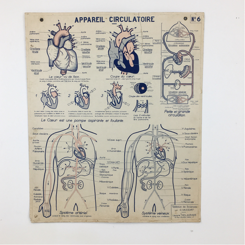 French Vintage Anatomical Chart – Circulation