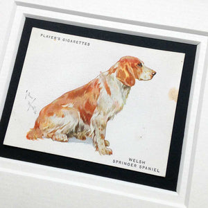 Framed Dog Breed Vintage Cigarette Card - Springer Spaniel (Welsh) - Full