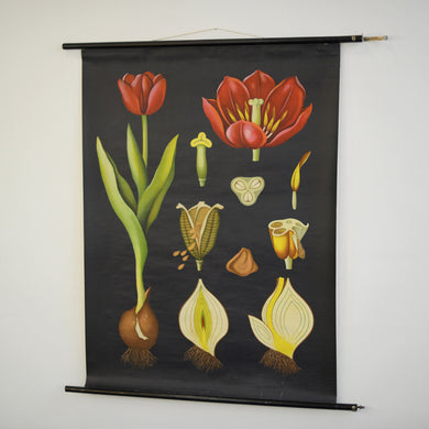 Wall Chart Of The Tulip By Jung Koch Quentell 1950s