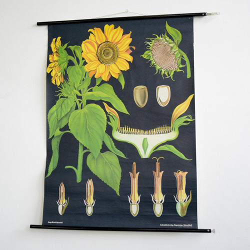 Wall Chart Of The Sunflower By Jung Koch Quentell