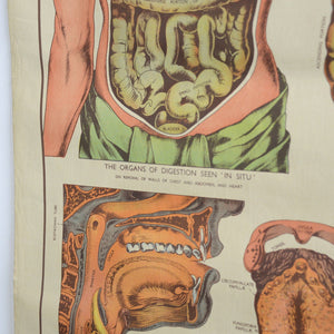 Anatomical Chart By Robert E Holding Circa 1920s