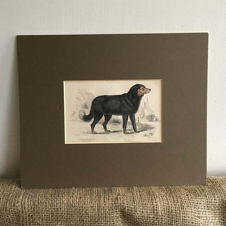Mounted Antique Book Plate - Newfoundland Dog