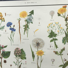 Load image into Gallery viewer, 1950s School Chart - 33 - Daisy family III