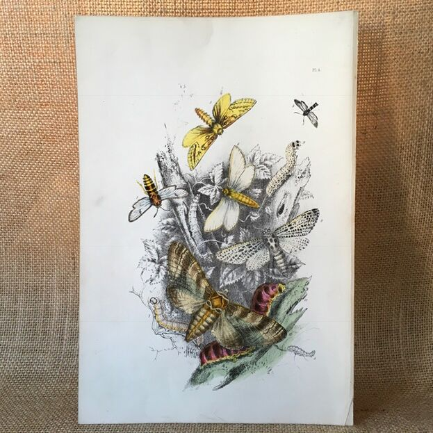 Vintage Book Plate of Moths & Butterflies - 1