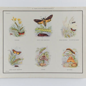 Vintage Harvey School Educational Poster / Print - Stages in the Life History of Moths A