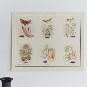 Vintage Harvey School Educational Poster / Print - Stages in the Life History of Moths C
