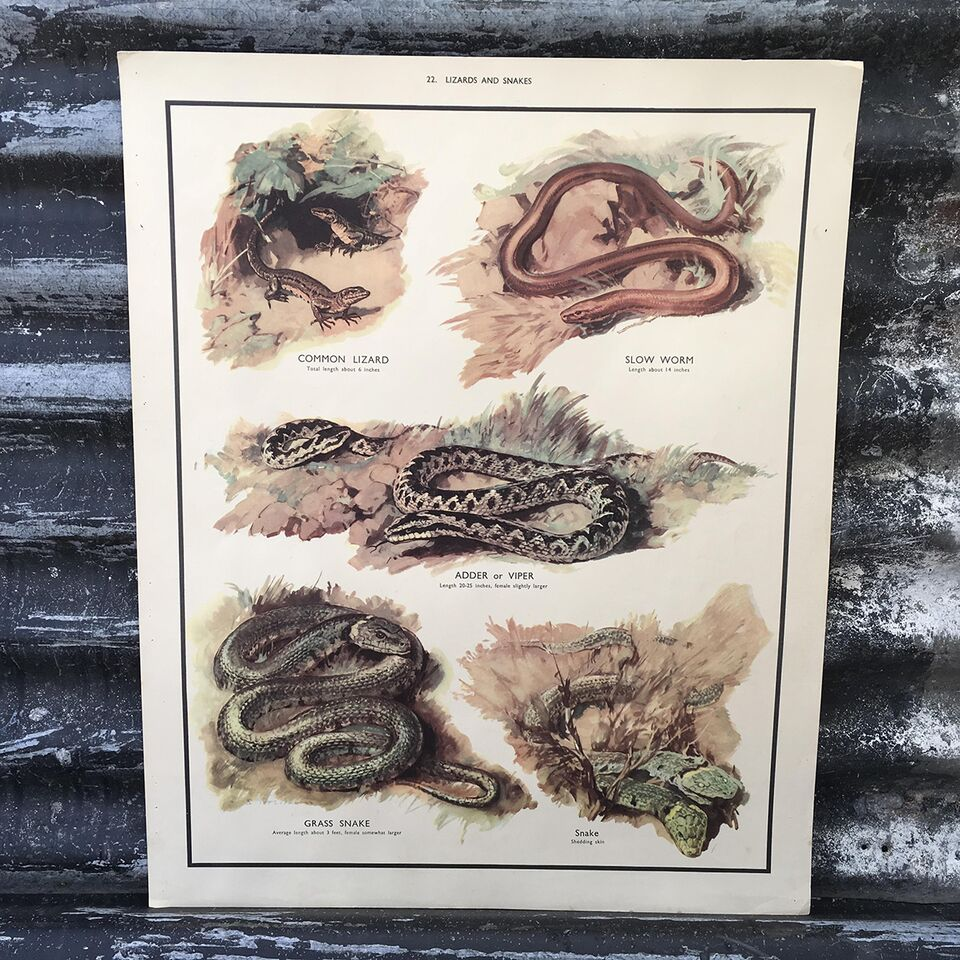 1950s School Poster - 22 - Lizards and Snakes