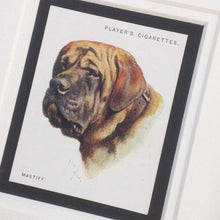 Load image into Gallery viewer, Framed Dog Breed Vintage Cigarette Card - Mastiff - Head