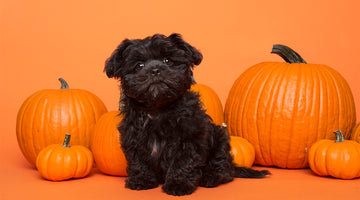 The Dangers of Halloween for Dogs