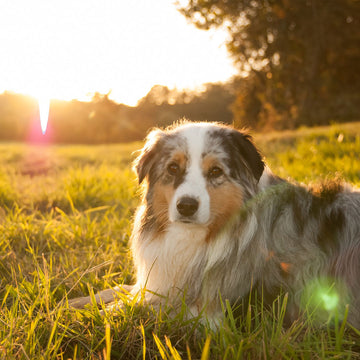 Why do dogs lie in the sun?