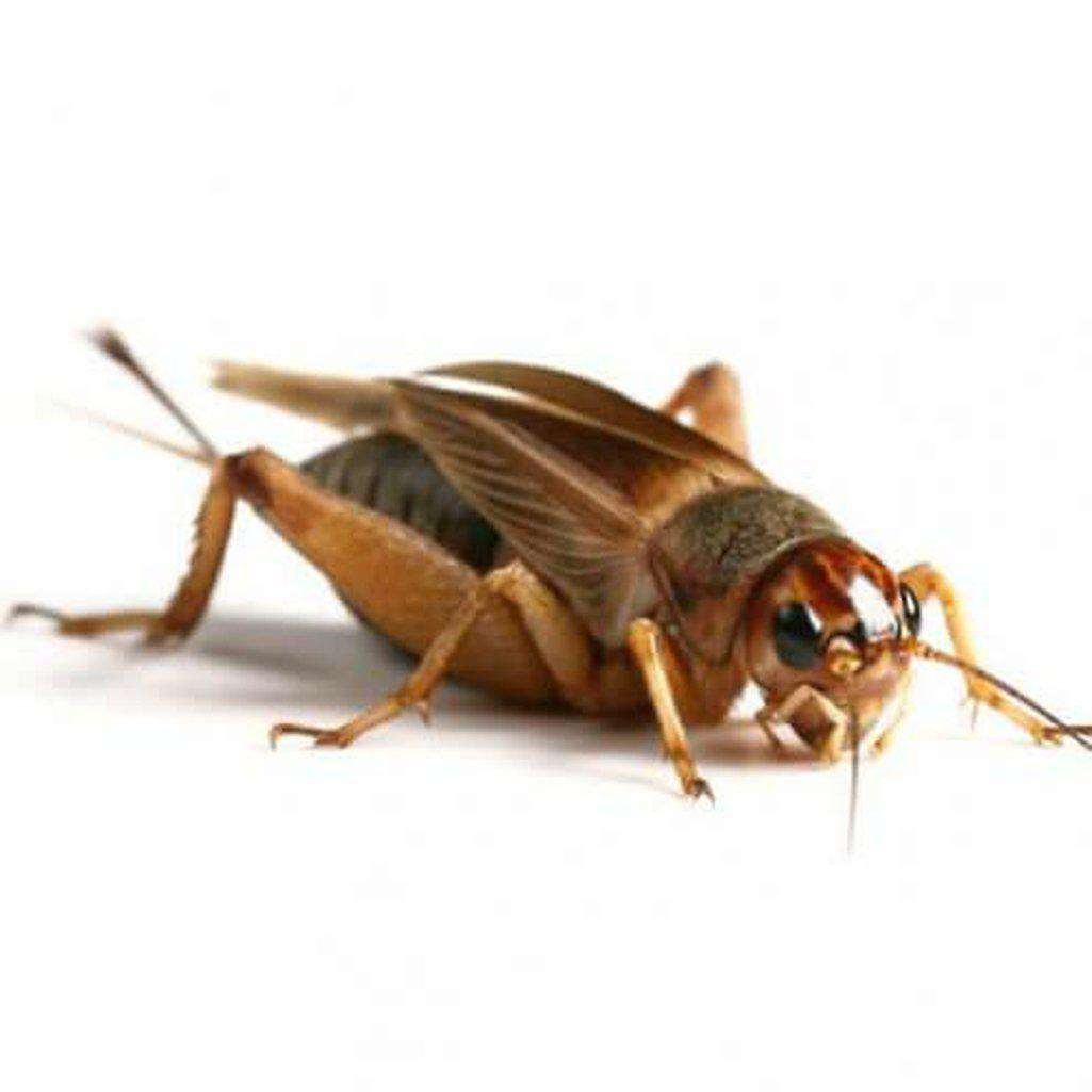 Silent Brown Crickets Live Food
