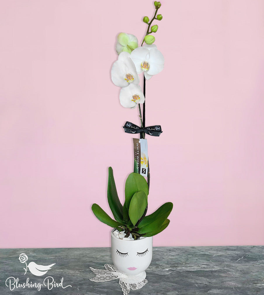 Pretty Betty Natural stem orchid plant