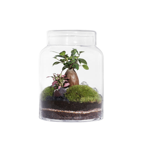 GREEN FACTORY TERRARIUMS | Flat Medium | Ficus Microcarpa - LONDØNWORKS