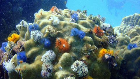 Boulder Coral with Christmas Tree Worms