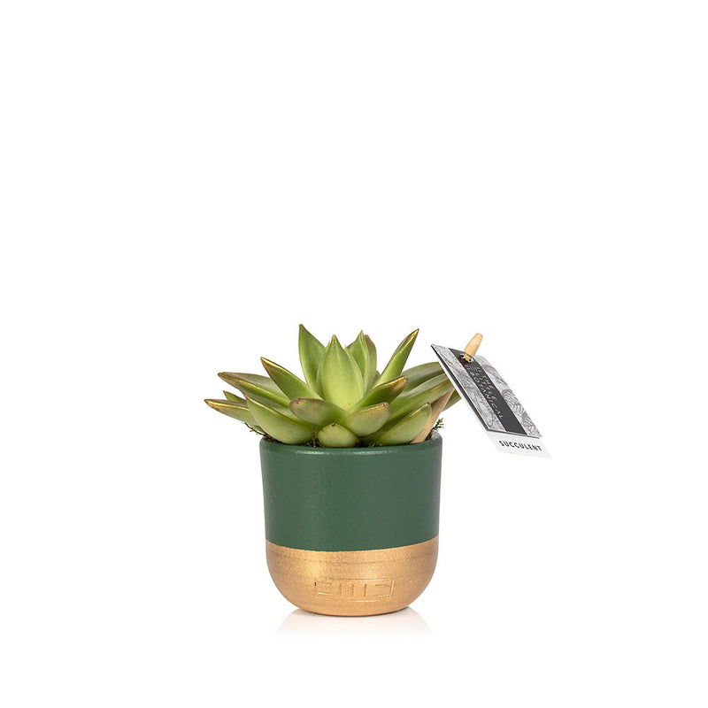 Christmas Succulent - Green Dipped Pot