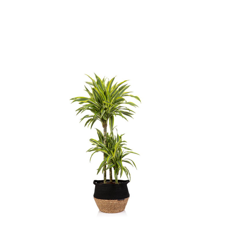 House Plant - L Grey Pot