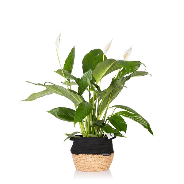 House Plant - Big Belly Basket