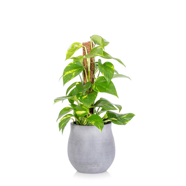 House Plant - Medium Pot