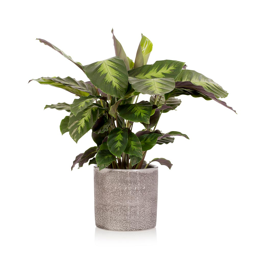 House Plant - Small Grey Pot