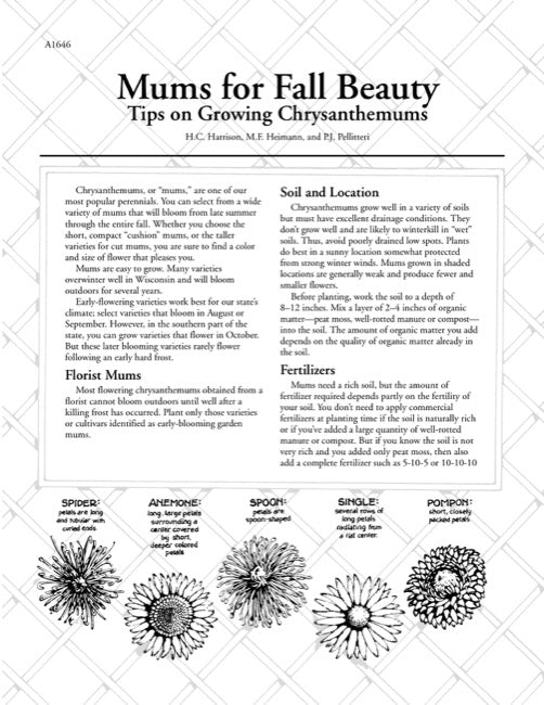 Mums for Fall Beauty—Tips on Growing Chrysanthemums