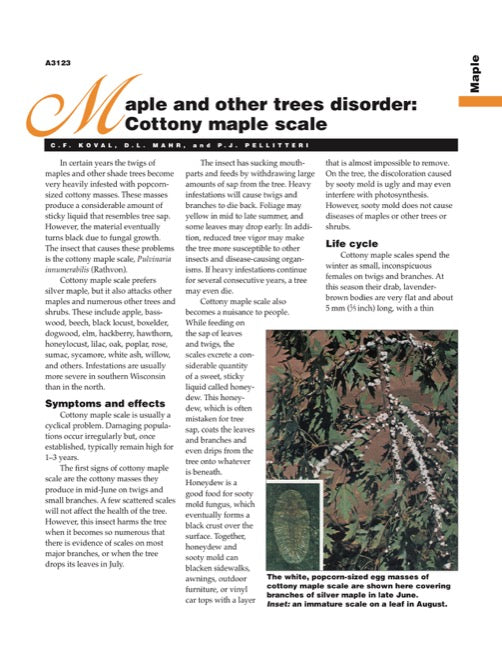 Maple and Other Trees Disorder: Cottony Maple Scale