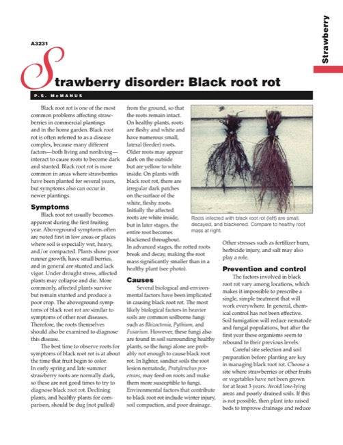 Strawberry Disorder: Black Root Rot