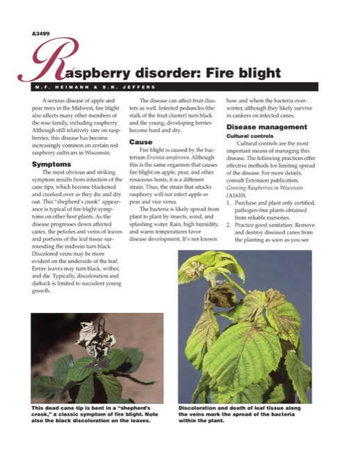 Raspberry Disorder: Fire Blight