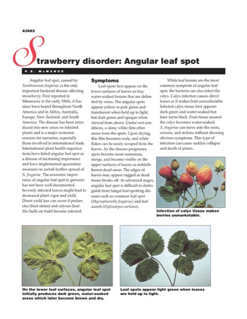 Strawberry Disorder: Angular Leaf Spot