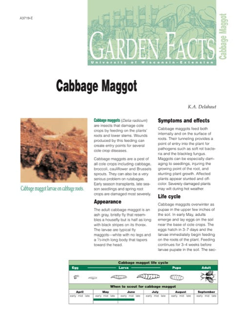 Cabbage Maggot