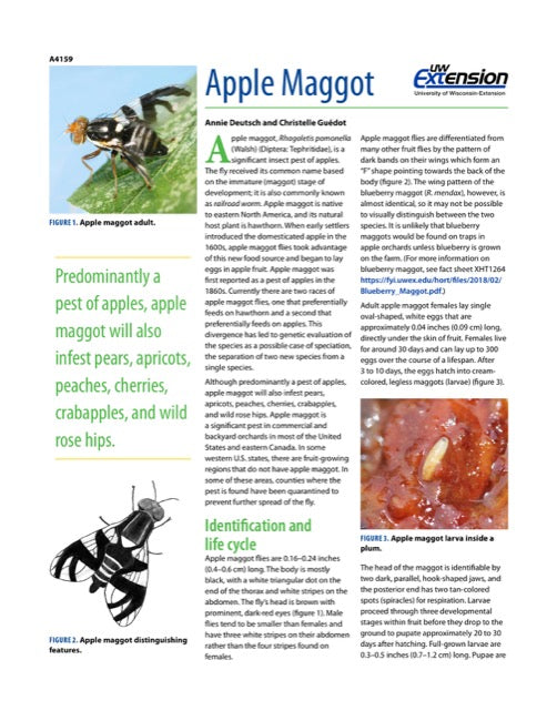 Apple Maggot