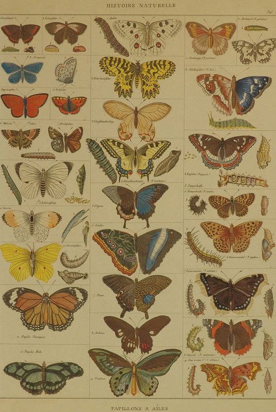 Florentine Print Natural History Butterflies