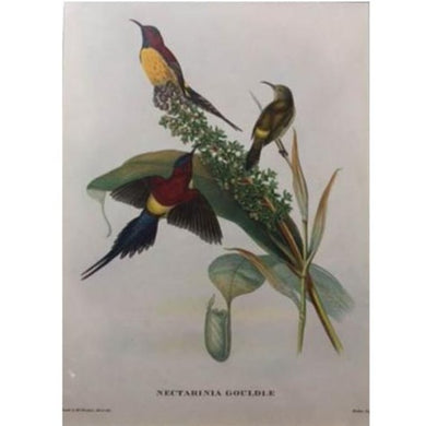 Gould's Print of Three Exotic Birds