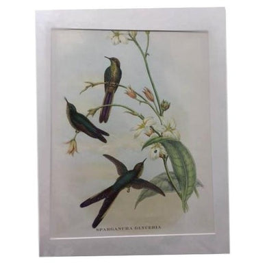 Gould's Print with Three Birds