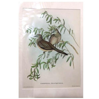 Gould's Print of Two Birds